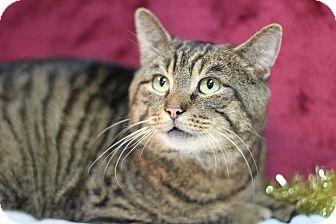 Domestic Shorthair Cat for adoption in Midland, Michigan - Thomas - $10