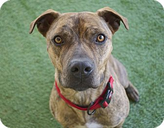 American Staffordshire Terrier Mix Dog for adoption in Santa Barbara, California - Modelo
