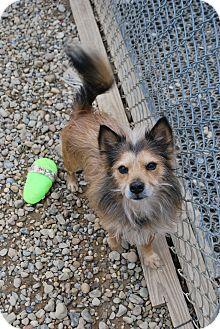 Sheltie, Shetland Sheepdog Mix Dog for adoption in Berea, Ohio - Caemeron