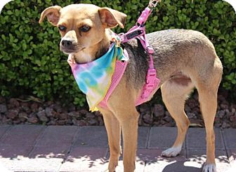 Chihuahua Mix Dog for adoption in Las Vegas, Nevada - Carinosa