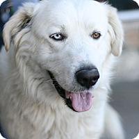 Adopt A Pet :: Odin - Canoga Park, CA