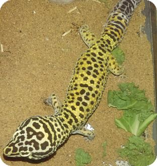 Gecko for adoption in Hampton, Georgia - Aspen