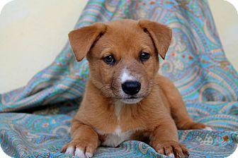 Australian Shepherd Mix Puppy for adoption in Los Angeles, California - Horton