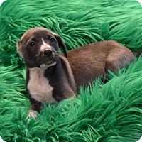 Adopt A Pet :: Petey - South Dennis, MA