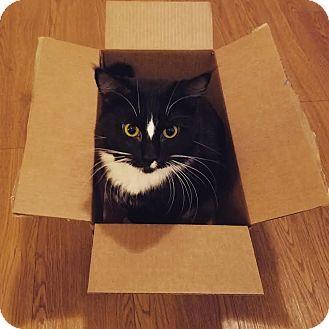Domestic Shorthair Cat for adoption in Manhattan, Kansas - Erwin