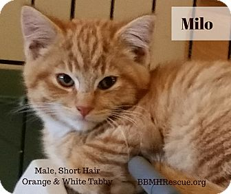 Domestic Shorthair Kitten for adoption in Temecula, California - Milo
