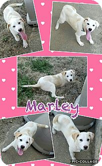 Labrador Retriever Mix Puppy for adoption in East Hartford, Connecticut - Marley pending adoption