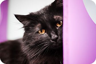 Domestic Longhair Cat for adoption in Brimfield, Massachusetts - Powder Puff