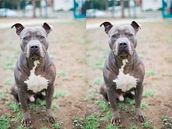 American Pit Bull Terrier Dog for adoption in Los Angeles, California - NORE