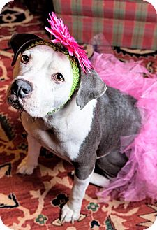 Labrador Retriever/Boxer Mix Dog for adoption in Nashville, Tennessee - LULA