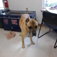 Cane Corso Mix Dog for adoption in Circleville, Ohio - KONG