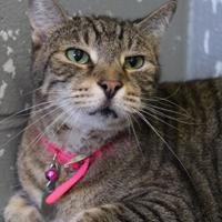 Domestic Shorthair/Domestic Shorthair Mix Cat for adoption in Bradenton, Florida - Pom-Pom