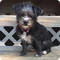 Adopt A Pet :: Bella - Alabaster, AL