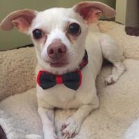 Adopt A Pet :: Amigo - Lowell, IN