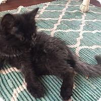 Adopt A Pet :: Raven - Frankfort, IL