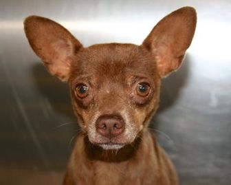 Chihuahua Mix Dog for adoption in White Settlement, Texas - Tommy