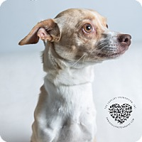 Chihuahua/Terrier (Unknown Type, Small) Mix Dog for adoption in Inglewood, California - Calla Lily