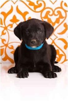 Labrador Retriever Mix Puppy for adoption in Portland, Oregon - Ari