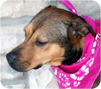 Shepherd (Unknown Type)/Boxer Mix Dog for adoption in Cincinnati, Ohio - Megan