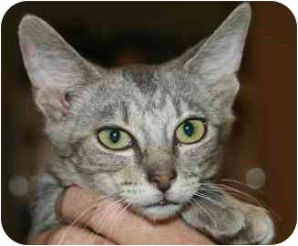 Domestic Shorthair Kitten for adoption in tucson, Arizona - Nastia