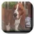 Basset Hound Dog for adoption in Marietta, Georgia - Clay