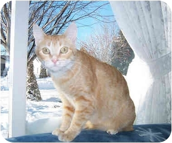 Domestic Shorthair Cat for adoption in Owatonna, Minnesota - Ms. Fairway