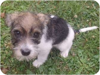 Wheaten Terrier/Shih Tzu Mix Puppy for adoption in Bel Air, Maryland - Oliver