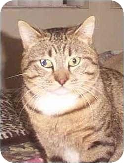 Domestic Shorthair Cat for adoption in San Diego/North County, California - Bob