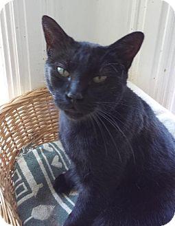 Domestic Shorthair Cat for adoption in Orillia, Ontario - Cola