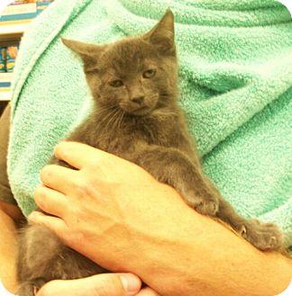 Domestic Shorthair Kitten for adoption in Reston, Virginia - Tanner