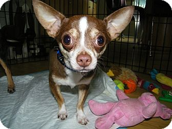 Chihuahua Dog for adoption in Mount Gretna, Pennsylvania - Diego