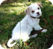 Shih Tzu Mix Puppy for adoption in Plainfield, Connecticut - Kipper