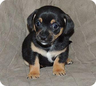 Beagle/Cocker Spaniel Mix Puppy for adoption in La Habra Heights, California - Pippin