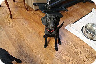 Beagle/Labrador Retriever Mix Dog for adoption in Naperville, Illinois - Theo - 24 Pounds