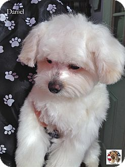 Maltese Mix Puppy for adoption in Encino, California - Daniel