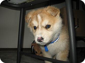 Husky/Golden Retriever Mix Puppy for adoption in Egremont, Alberta - Lincoln