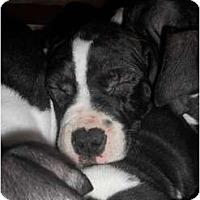 Adopt A Pet :: Bella - Dallas, PA