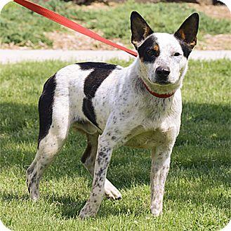 Australian Cattle Dog Mix Dog for adoption in Stillwater, Oklahoma - Boss