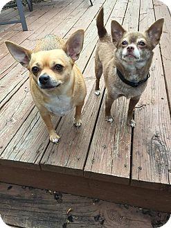 Chihuahua Mix Dog for adoption in Overland Park, Kansas - Momas