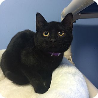 Domestic Shorthair Cat for adoption in Germantown, Tennessee - Nightwing