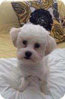 Maltese/Havanese Mix Dog for adoption in Chicago, Illinois - Tootsie