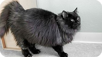 Domestic Longhair Cat for adoption in Hampton, Illinois - Lucas