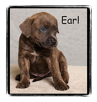 Pit Bull Terrier/Boxer Mix Puppy for adoption in Warren, Pennsylvania - Earl