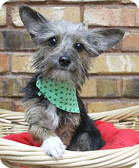 Terrier (Unknown Type, Small) Mix Dog for adoption in Benbrook, Texas - Mario