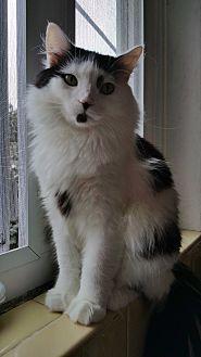 Domestic Longhair Cat for adoption in Philadelphia, Pennsylvania - Noel