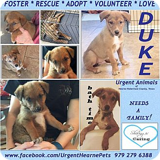 Australian Cattle Dog Mix Puppy for adoption in Hearne, Texas - Duke