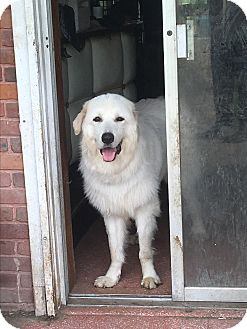 Great Pyrenees Dog for adoption in Waggaman, Louisiana - Stormy