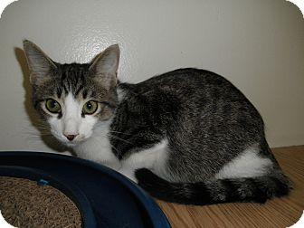 Domestic Shorthair Kitten for adoption in Milwaukee, Wisconsin - Crescendo