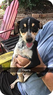 Cattle Dog Mix Dog for adoption in East Hartford, Connecticut - Fogerty in CT
