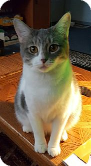 Domestic Shorthair Cat for adoption in Los Angeles, California - Yum Yums